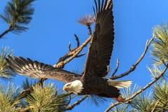 Eagle steigt weg von der Niederlassung in Idaho an Stockbild