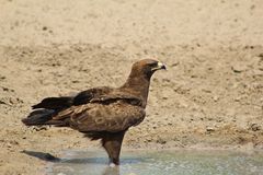 Eagle, Steppe - Cool Water Stock Image