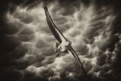 Eagle in the Stormy Sky, Australia Royalty Free Stock Photos