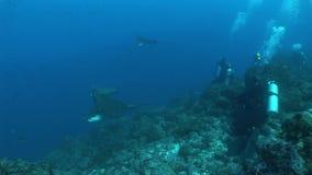 Eagle stråle som dyker det undervattens- videopd Stilla havet för Galapagos öar stock video