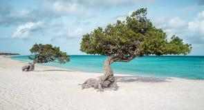 Eagle strand med dividiviträd på Aruba Royaltyfria Foton