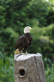 Eagle on stump Stock Images