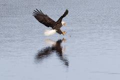 Eagle-Sturzflüge auf Fischen. Stockbild