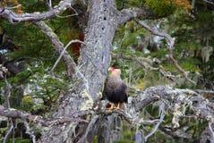 Eagle su un ramo Fotografia Stock Libera da Diritti