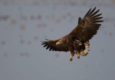 Eagle suivi par blanc Photo stock
