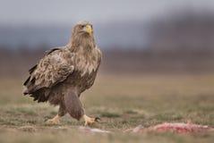 Eagle suivi par blanc photos stock