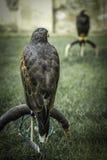 Eagle sul banco Immagini Stock