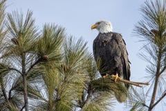 Eagle sul ramo nell'Idaho del nord immagine stock