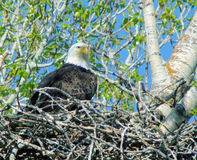 Eagle sul suo nido Immagini Stock Libere da Diritti