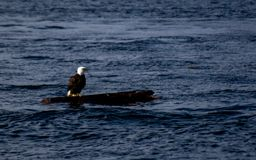 Eagle sull'acqua di connessione Fotografie Stock
