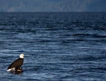 Eagle sulla connessione Canada Fotografia Stock
