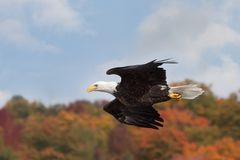 Eagle Sunie Nad jesieni Treetops zdjęcia stock