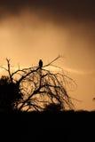 Eagle sunset Stock Photo