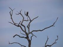 Eagle sur l'arbre en Zambie Image libre de droits