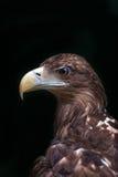 Eagle sur le noir photographie stock libre de droits