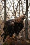 Eagle sur une branche dans la cage Photographie stock libre de droits