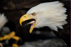 Eagle swallowing fish. Eagle eating fish in Homer Alaska Royalty Free Stock Photography