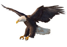 Bald eagle swoop hand drawing hand draw on white background stock illustration