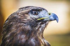 Eagle, täglicher Raubvogel mit schönem Gefieder und Gelb ist Lizenzfreie Stockbilder
