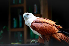 Eagle, Philippines Royalty Free Stock Images