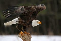 Eagle Take-Off calvo Foto de archivo