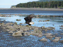 Eagle at take-off from Homer Spit. Stock Photos