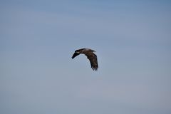 Eagle Takes Flight Stock Photography