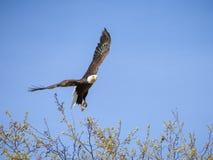Eagle Taking Flight chauve au ciel bleu en tant que faune nord-américaine Photo stock