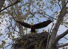 Eagle Taking Flight från rede Royaltyfri Bild
