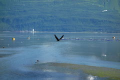 An eagle taking flight at valdez, alaska. Royalty Free Stock Photography