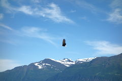 An eagle taking flight at valdez, alaska. Stock Image