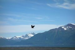 An eagle taking flight at valdez, alaska. Royalty Free Stock Image