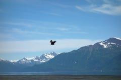 An eagle taking flight at valdez, alaska. Royalty Free Stock Image