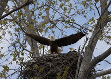 Eagle Taking Flight vom Nest Lizenzfreies Stockbild