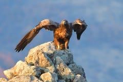 Eagle Taking Off d'or d'une roche photo libre de droits
