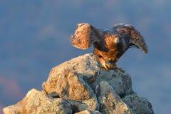 Eagle Taking Off d'or d'une roche photographie stock libre de droits