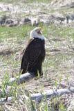 Eagle Talk Fotografie Stock Libere da Diritti