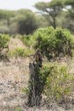 Eagle in Tanzania. Brown Eagle in Tarangire National Park in Tanzania , Africa Stock Image