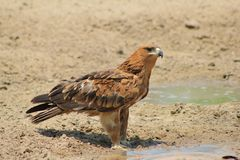 Eagle, Tawny - Brilliant Bird Stock Image