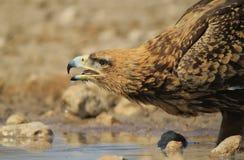 Eagle, Tawny Gaszący pragnienia i tła piękno - Dzicy ptaki od Afryka - Obrazy Royalty Free