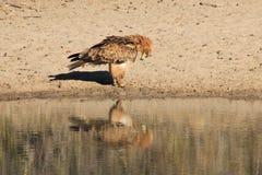 Eagle, Tawny odbicie łęk Macierzysta ziemia - Dzicy ptaki od Afryka - Obraz Stock