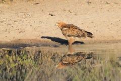 Eagle, Tawny odbicie kolor i duma - Dzicy ptaki od Afryka - Fotografia Stock