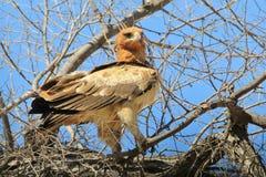 Eagle, Tawny Patrzeje świat iść obok - Dziki Ptasi tło od Afryka - Obraz Stock