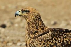 Eagle, Tawny Perfect portret duma i tło - Dzicy ptaki od Afryka - Obrazy Royalty Free
