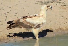 Eagle, Tawny potomstwa Perfect portret duma - Dzicy ptaki od Afryka - Zdjęcia Royalty Free