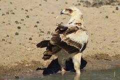 Eagle, Tawny potomstwa Perfect portret władza - Dzicy ptaki od Afryka - Zdjęcie Royalty Free