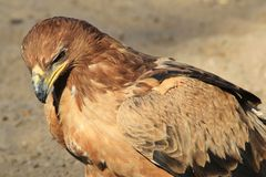 Eagle, Tawny - Wild Bird Background from Africa - Power and Pride Stock Photography