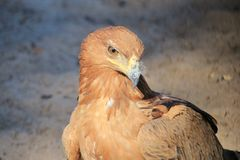 Eagle, Tawny - Wild Birds from Africa - Golden Eye of the Sky Stock Image