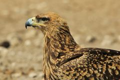 Eagle, Tawny - Wild Birds from Africa - Perfect Portrait of Pride and Background royalty free stock images