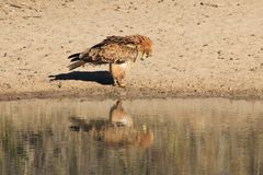 Eagle, Tawny - Wild Birds from Africa - Reflection of Bow to Mother Earth. An adult Tawny Eagle visits a watering hole on a game ranch in Namibia, bowing down in Stock Image